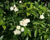 Des roses blanches avec une coccinelle