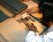 Hélèna travaillant sur les herbiers du Jardin Botanique
