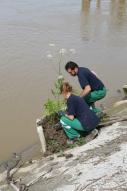 Réimplantation d'Angelica heterocarpa dans son milieu naturel