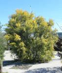 Un mimosa de l'allée des Fabacées