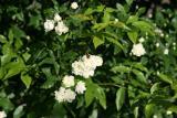 Une magnifique rose blanche